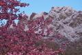 [寒の戻り][桜][サクラ][河津桜][白雲山]寒の戻り