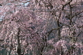 [桜][サクラ][しだれ桜][シダレザクラ][木戸橋]桜