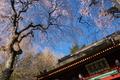 [総門][桜][サクラ][しだれ桜][妙義神社]総門
