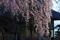 [御殿][宮様御殿][しだれ桜][桜][妙義神社]