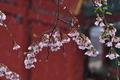 [花冷えの日][桜][サクラ][雪][妙義神社]花冷えの日