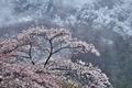 [桜][サクラ][白雲山][妙義山][雪]桜