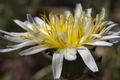 [シロバナタンポポ][キク科][タンポポ][ホワイトダンデライオ][白い花]シロバナタンポポ