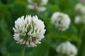 [シロツメクサ][マメ科][クローバー][白詰草][白い花]シロツメクサ