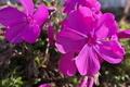 [芝桜][シバザクラ][ハナシノブ科][通学路][ピンク色の花]芝桜