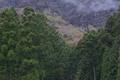 [スギ林][山麓][芽吹き][新緑][広葉樹]スギ林