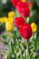 [チューリップ][ユリ科][ホトケノザ][赤い花][黄色い花]チューリップ