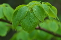 [ミズキ][ミズキ科][水木][丸い葉][雨]ミズキ