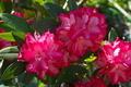 [石楠花][シャクナゲ][ツツジ科][不動寺][赤い花]石楠花