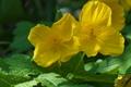 [ヤマブキソウ][ケシ科][山吹草][有毒][黄色い花]ヤマブキソウ