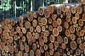 [伐採木][スギ林][杉][杉材][伐採現場]伐採木