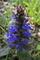[セイヨウジュウニヒト][シソ科][ジュウニヒトエ][十二単][青い花]