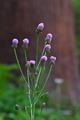 [キツネアザミ][キク科][アザミ][紫色の花][妙義神社]キツネアザミ