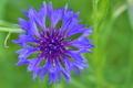 [ヤグルマギク][キク科][ヤグルマソウ][青い花][青紫の花]ヤグルマギク