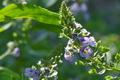 [オオカワヂシャ][ゴマノハグサ科][特定外来生物][帰化植物][紫色の花]オオカワヂシャ