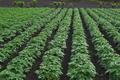 [ジャガイモ畑][じゃがいも畑][馬鈴薯][ナス科][紫色の花]ジャガイモ畑