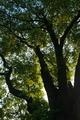[緑陰の中で][緑陰][ウラジロガシ][木陰][妙義神社]緑陰の中で