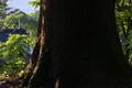 [緑陰の中で][緑陰][老杉][スギ][妙義神社]緑陰の中で