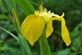 [キショウブ][アヤメ科][帰化植物][イエローフラッグ][黄色い花]キショウブ