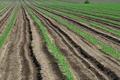 [コンニャク畑][蒟蒻畑][コンニャク][青麦][中野谷]コンニャク畑