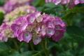 [紫陽花][アジサイ][あじさい][梅雨][ピンク色の花]紫陽花