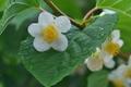 [マタタビ][マタタビ科][木天蓼][白い葉][白い花]マタタビ