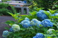 [紫陽花][アジサイ][信越本線][211系][青い花]紫陽花