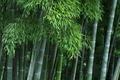 [竹やぶ][竹藪][竹林][モウソウチク][城山トレイル]竹やぶ