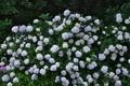 [紫陽花][アジサイ][白い花][三ツ木観音堂][城山トレイル]紫陽花