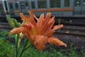 [ヤブカンゾウ][ユリ科][信越本線][信越線][オレンジ色の花]ヤブカンゾウ
