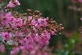 [サルスベリ][ミソハギ科][百日紅][ピンク色の花][城山トレイル]サルスベリ
