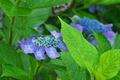 [紫陽花][アジサイ][後閑城址][紫色の花][城山トレイル]紫陽花