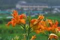 [ヤブカンゾウ ][ユリ科][絹笠大明神][オレンジ色の花][後閑]ヤブカンゾウ
