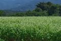 [ソバ畑][そば畑][ソバ][蕎麦][白い花]ソバ畑