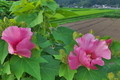[フヨウ][アオイ科][芙蓉][農免農道][ピンク色の花]フヨウ