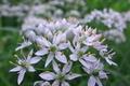 [ニラ][韮][ヒガンバナ科][白い花][滝名田]ニラ