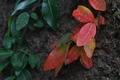 [テイカカズラ ][キョウチクトウ科][紅葉][赤い葉][妙義神社]テイカカズラ