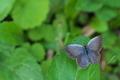 [ルリシジミ][シジミチョウ科][シジミチョウ][草むら][青い蝶]ルリシジミ