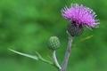 [ノハラアザミ][キク科][アザミ][松井田IC][紫色の花]ノハラアザミ