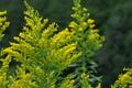 [セイタカアワダチソウ][キク科][背高泡立草][代萩][黄色い花]セイタカアワダチソウ