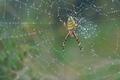[ナガコガネグモ][コガネグモ科][田園][田んぼ][下増田]ナガコガネグモ