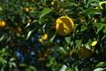 [柚子][ユズ][ゆず][柑橘類][黄色い実]柚子