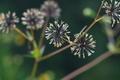 [コセンダングサ][キク科][ひっつき虫][帰化植物][下増田]コセンダングサ
