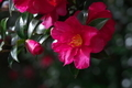 [山茶花][サザンカ][ツバキ科][通学路][ピンク色の花]山茶花