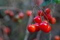 [ヒヨドリジョウゴ][ナス科][蔓性植物][ヒヨドリ][赤い実]ヒヨドリジョウゴ