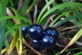 [ジャノヒゲ][キジカクシ科][リュウノヒゲ][青い実][三ツ木観音堂]ジャノヒゲ