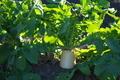 [ダイコン畑][ダイコン][大根畑][大根][冬野菜]ダイコン畑