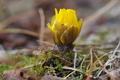 [フクジュソウ][キンポウゲ科][福寿草][黄色い花][妙義神社]フクジュソウ