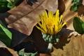 [カントウタンポポ][キク科][タンポポ][黄色い花][西久保]カントウタンポポ