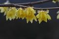 [ロウバイ][ロウバイ科][蝋梅][黄色い花][道の駅]ロウバイ